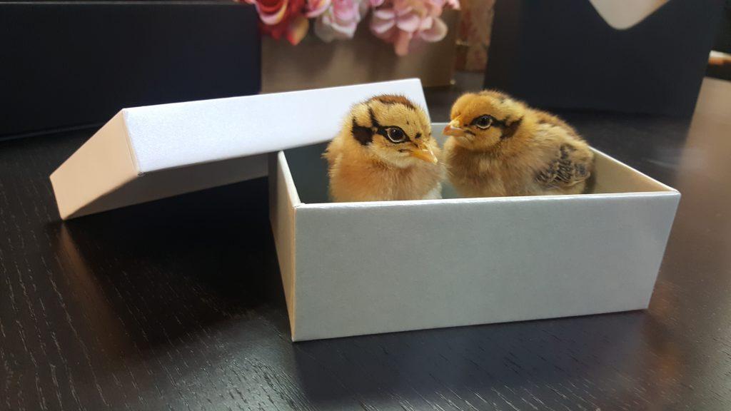 cutie rigida Heineken cu puisori 20180326_095942